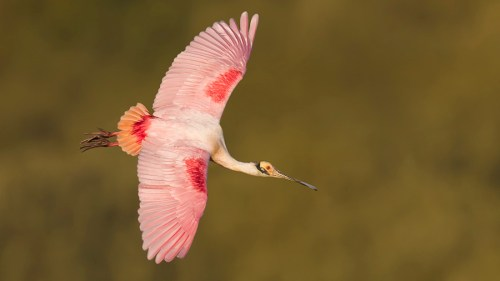 Florida Spoonbill Workshop_Photography Tour