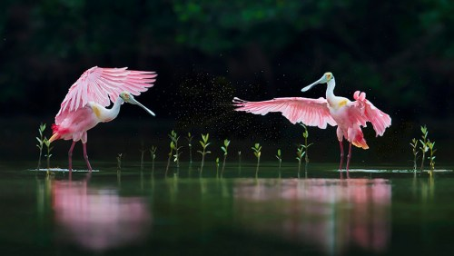 Florida Spoonbill Photo Workshop