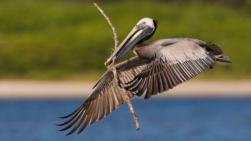 Spoonbill Tour_Brown Pelican In Flight