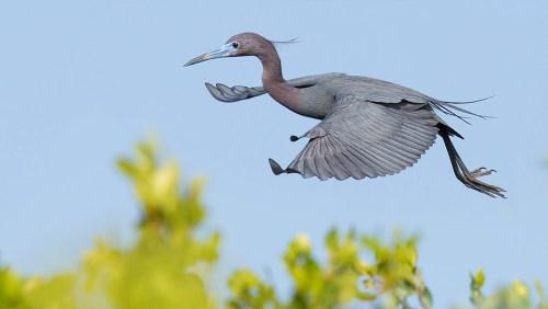 Spoonbill Tour_Little Blue Heron