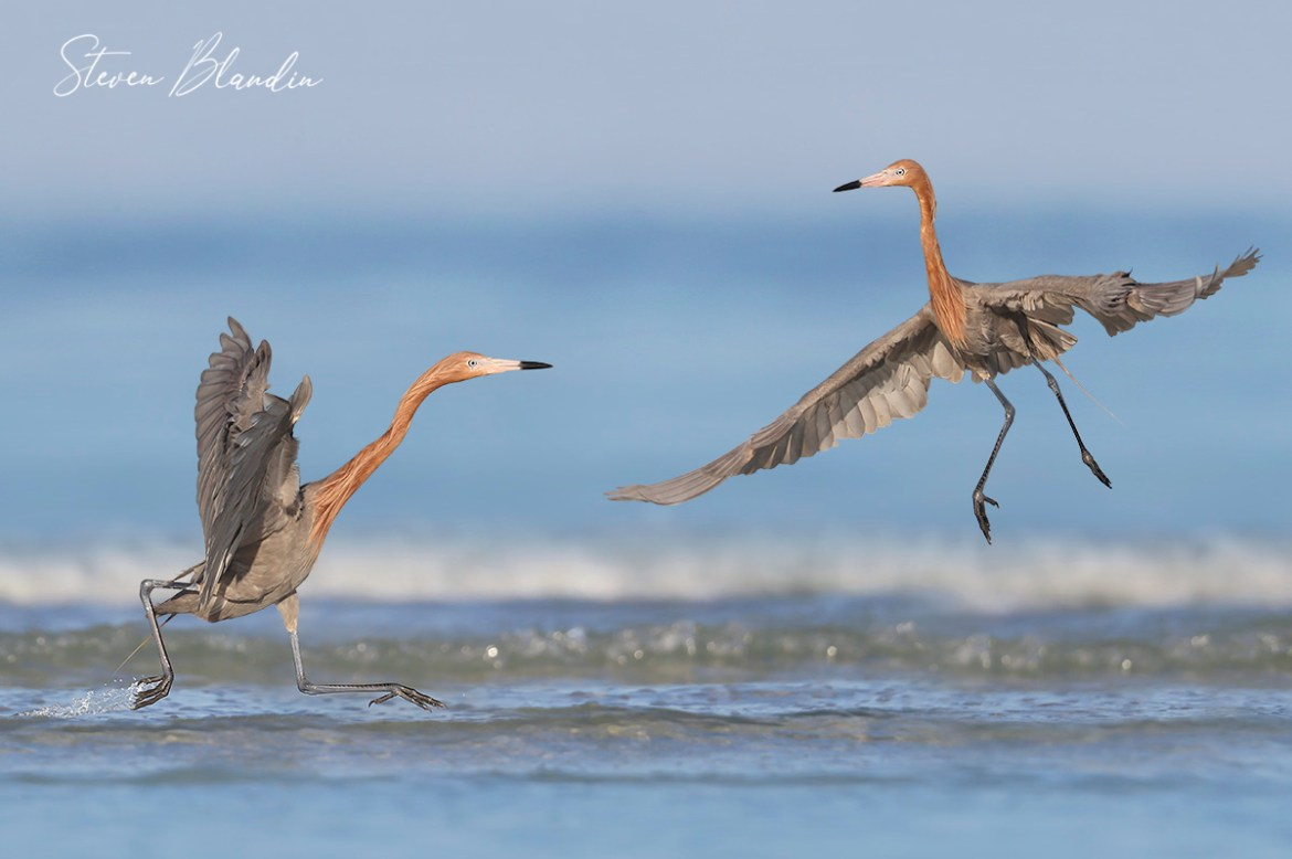 Reddish Egrets - Bird Photography Tour