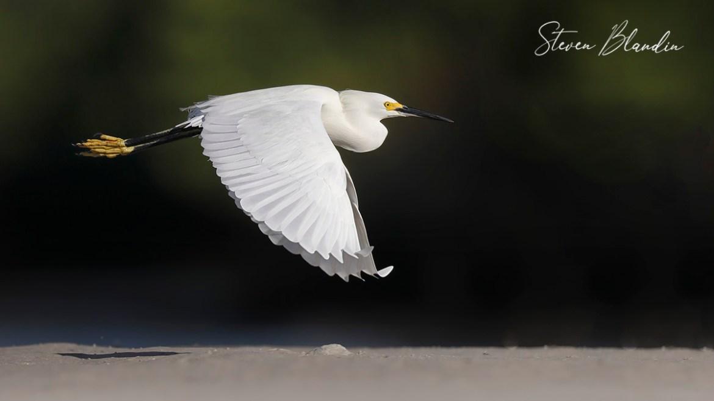 Snowy Egret in flight - Fort Desoto Bird Photography
