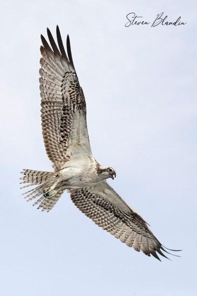 Osprey photography workshop
