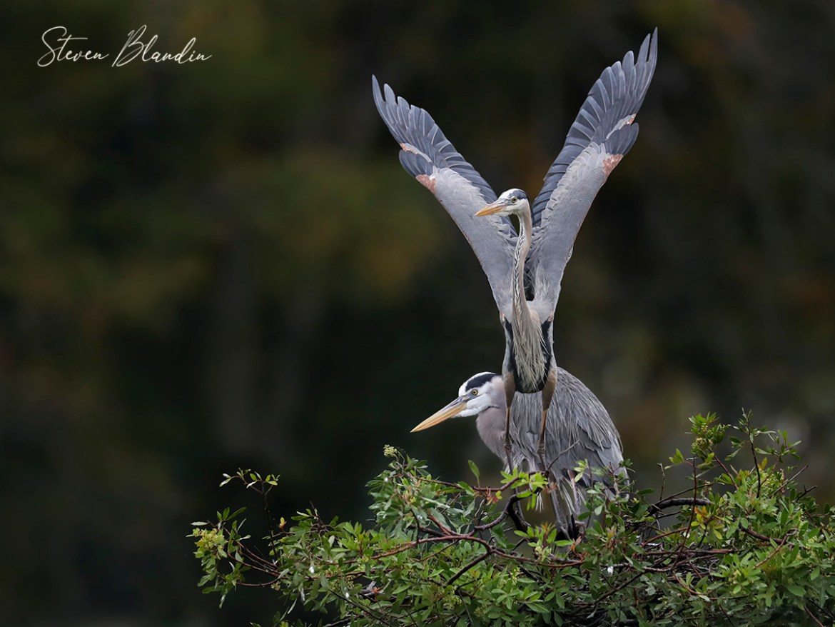 Great Blue Herons at the nest - Venice Rookery