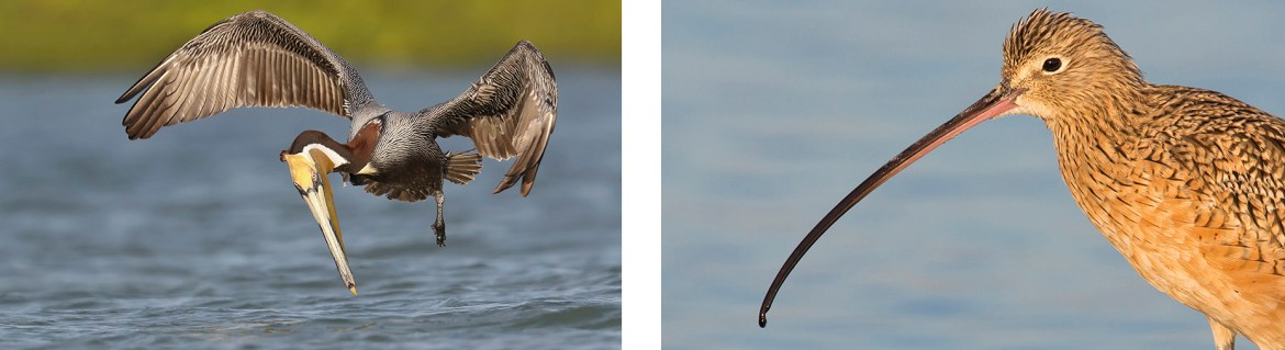 Long Billed Curlew - Photography Tour