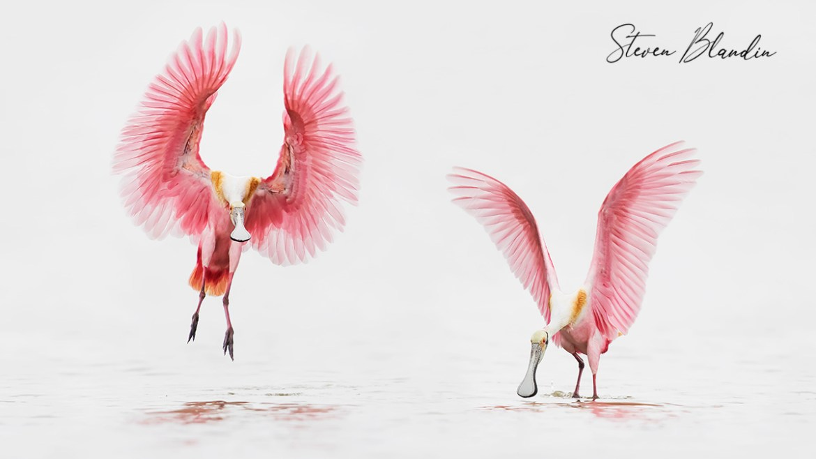 Roseate Spoonbills Photography Workshop