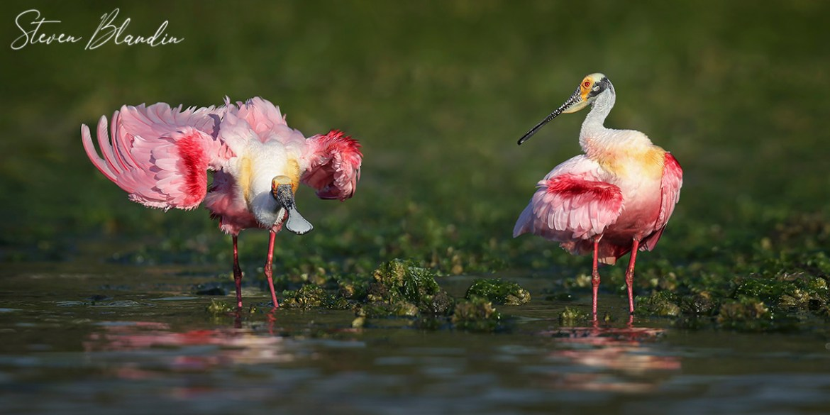 Roseate Spoonbill Photography Tour
