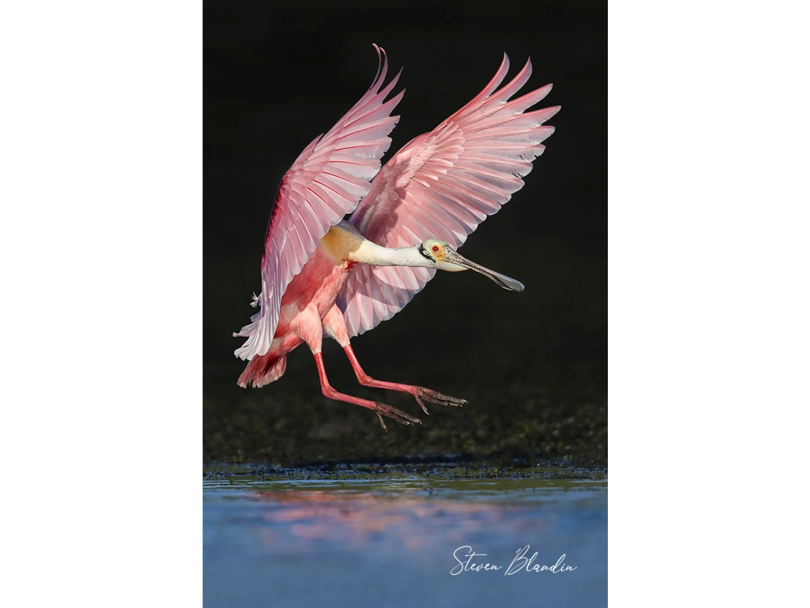 Florida Spoonbill landing - Photography tour