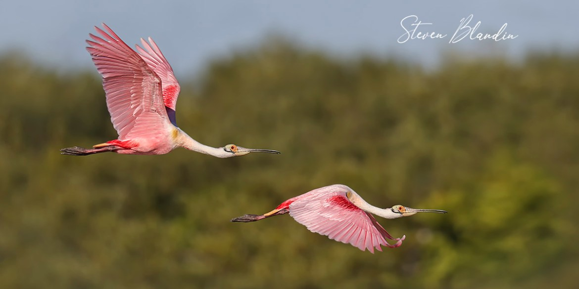 Roseate Spoonbills in flight - Photography Tour