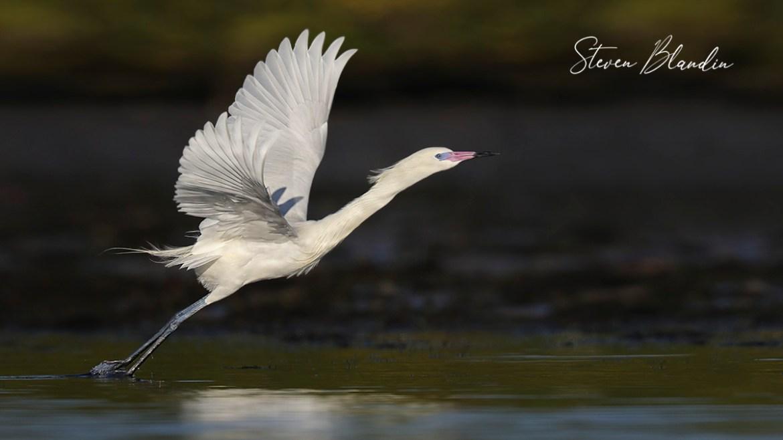 White morph Reddish Egret taking off - Spoonbill rookery