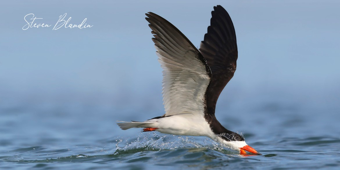 Black Skimmer skimming - Florida photography tour