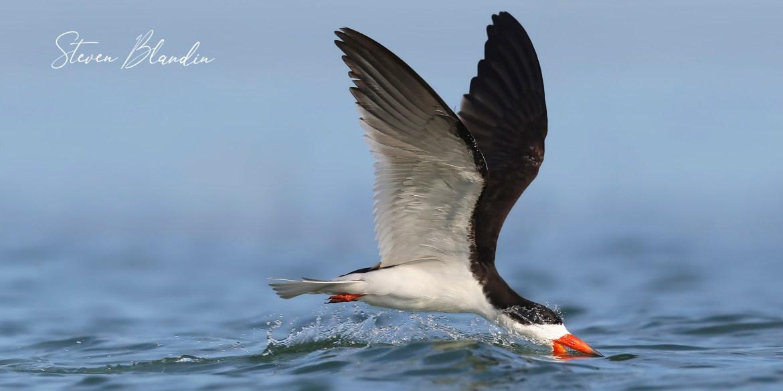 Black Skimmer skimming - Florida photography tour