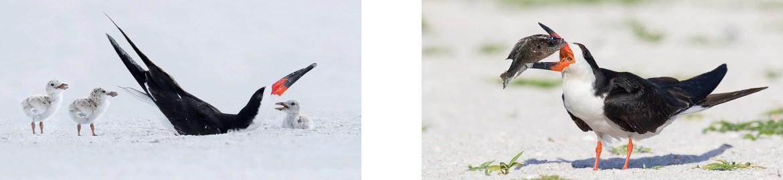 A08_Black Skimmer Nesting Colony_Florida Bird Photography Tour