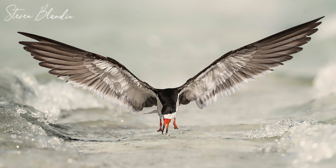 Black Skimmers Photography Tour