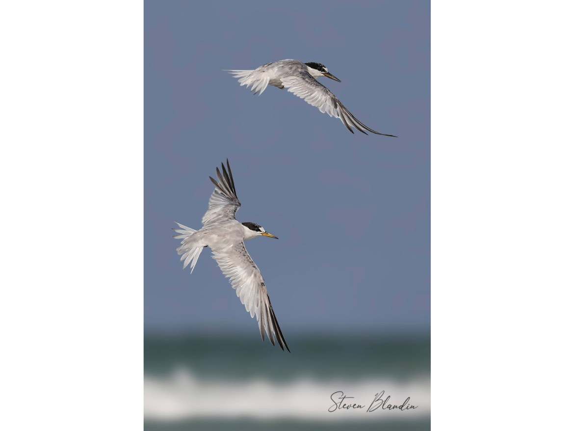 Least Terns in flight