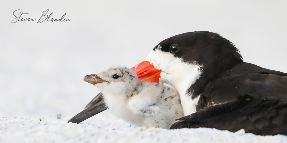 Black Skimmer Young Chick