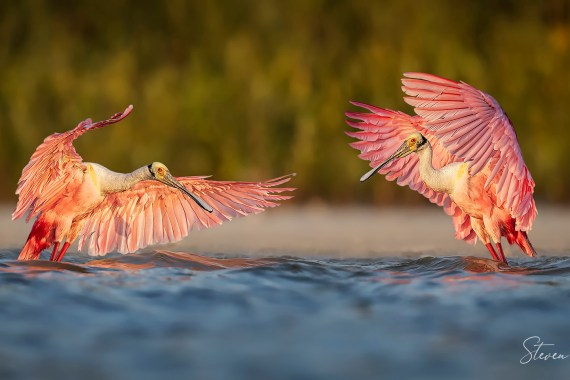 Florida Spoonbills flapping - Photography Tours