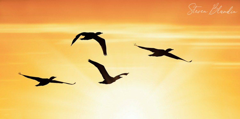 Double crested Cormorants sunrise silhouettes