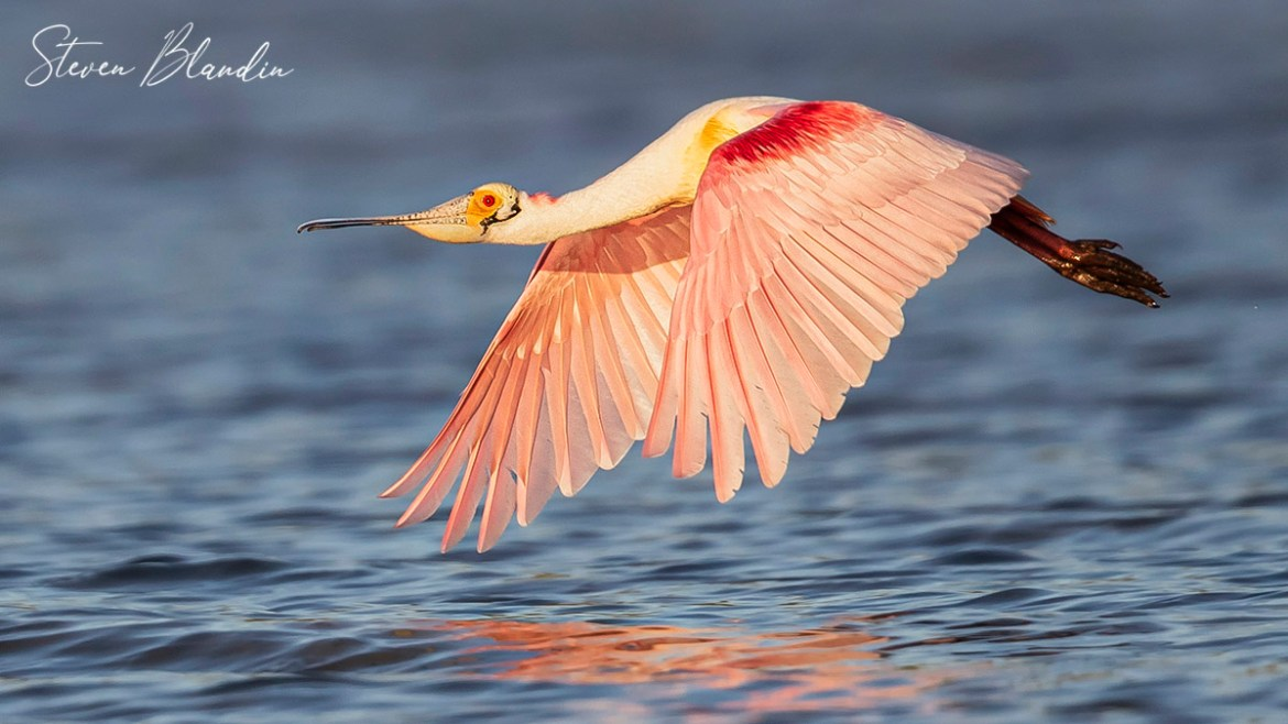 Roseate Spoonbill in flight - Photography tour