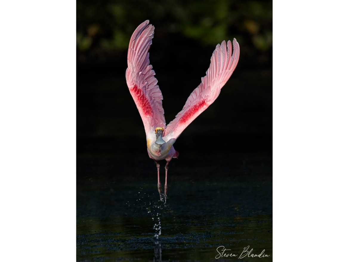 Adult Spoonbill Taking off - Florida Bird Tour