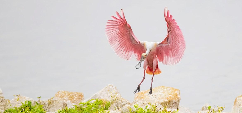 Florida Ospreys & Spoonbills Photography Tour_D76