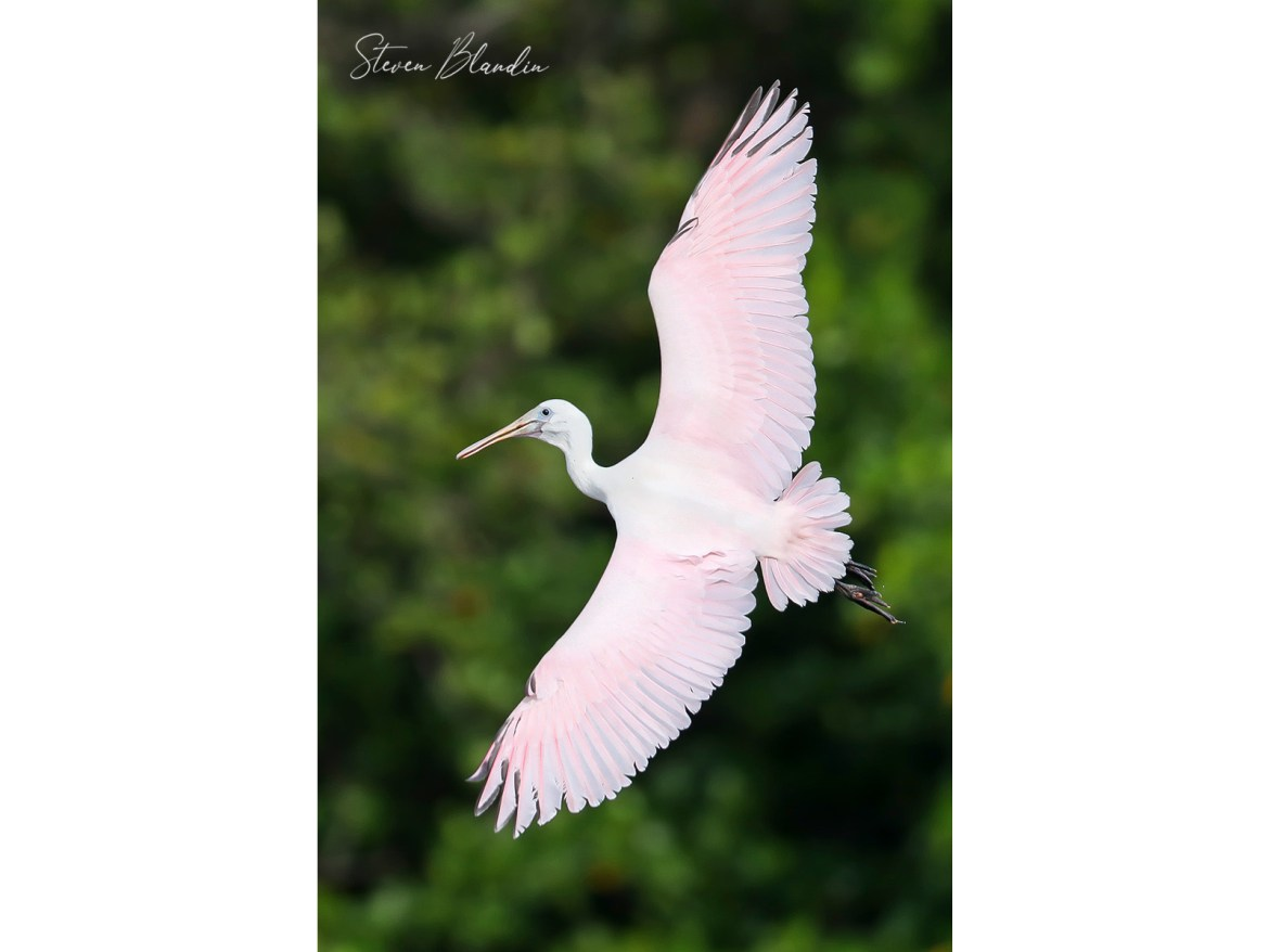 Young Spoonbill banking in flight