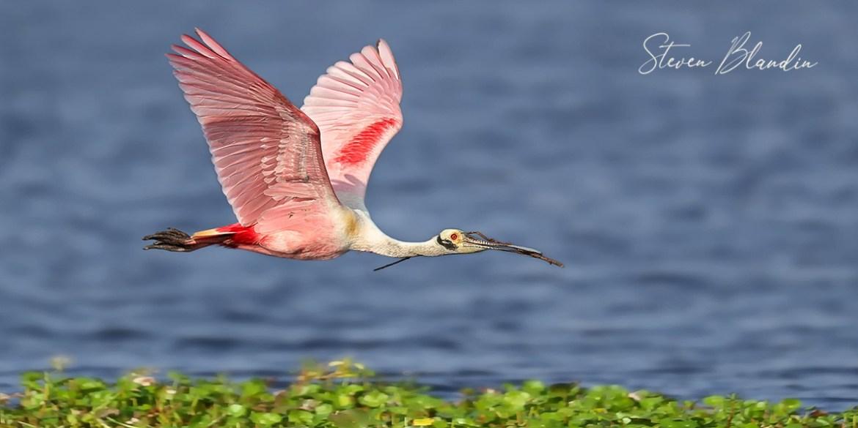 Spoonbill in flight - Spoonbill Rookery