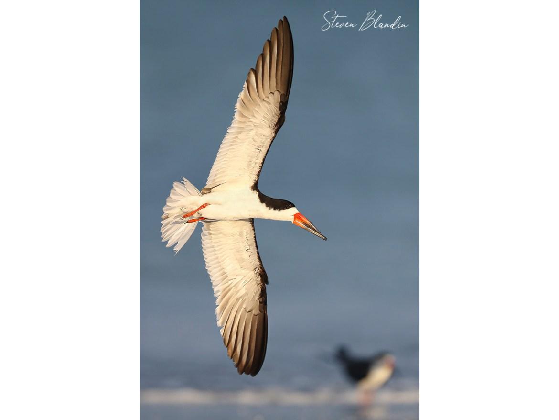 Skimmers banking in flight