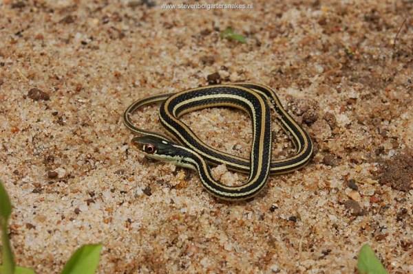 Thamnophis proximus orarius, female of 26.6 cm