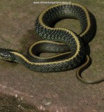 Juvenile T.a.atratus (captive bred) at an age of 3 month (recently fed).