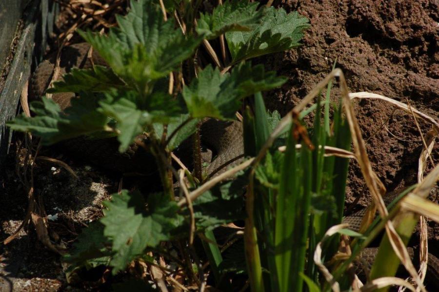 N.sipedon insularum basking between the vegetation.