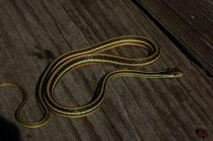 T.p.orarius; adult female in Louisiana (October 2013)