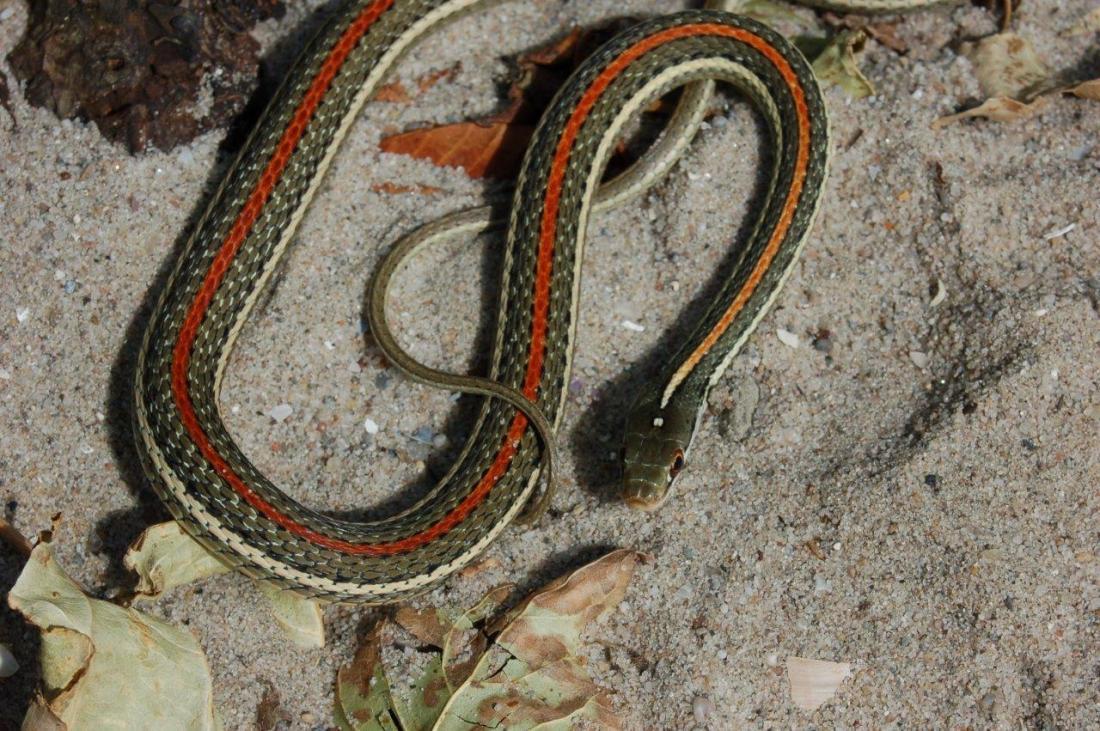 Adult male T.p.rubrilineatus (captive bred)