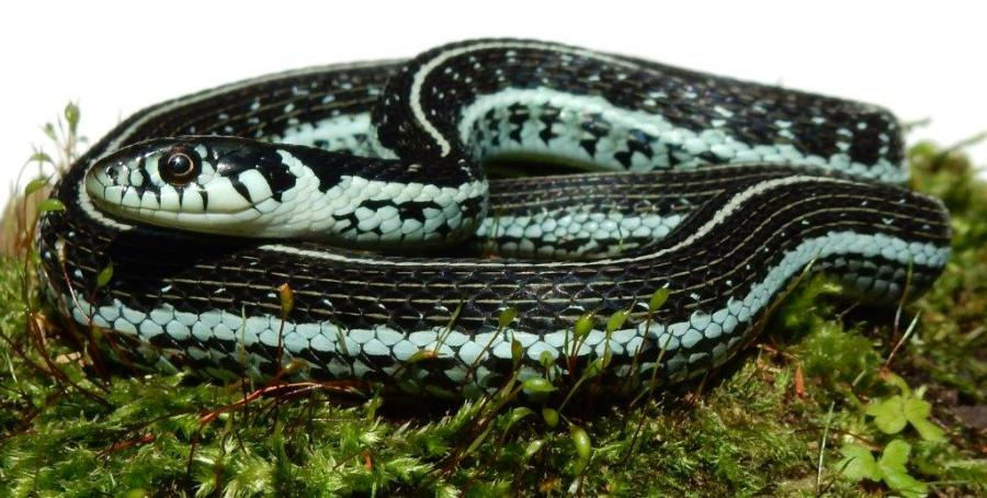 The juveniles of Thamnophis eques virgatenuis are developping nicely, born in June 2015 (so 3 months old).