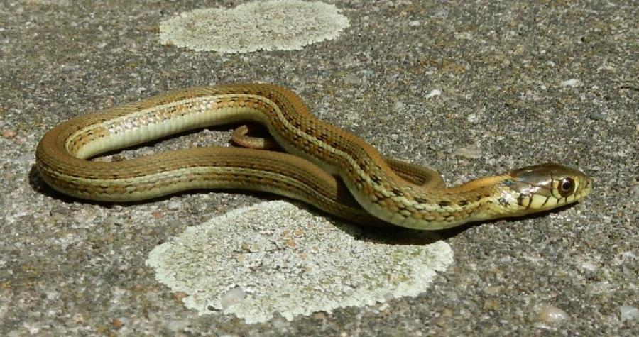 Some of the newborn Thamnophis eques scotti babies only 2 days old.