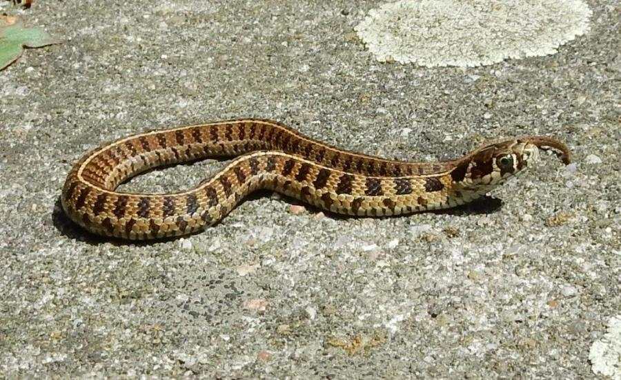 Thamnophis scaliger from Toluca, Mexico. They are about 1 month old.