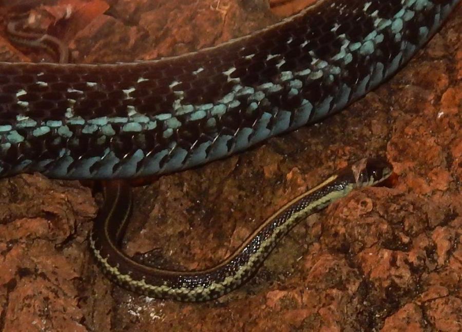 First babies of 2018; the Puget Sound Garter Snake (5)
