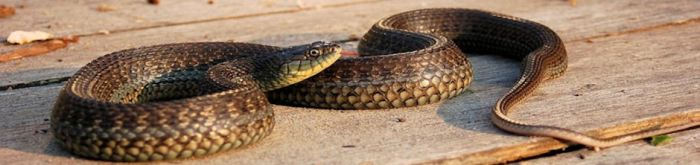 Thamnophis eques obscurus -Lake Chapala Mexican Garter Snake