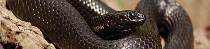 Thamnophis melanogaster canescens (melanistic & red morph) - Mexican Black-bellied Garter Snake