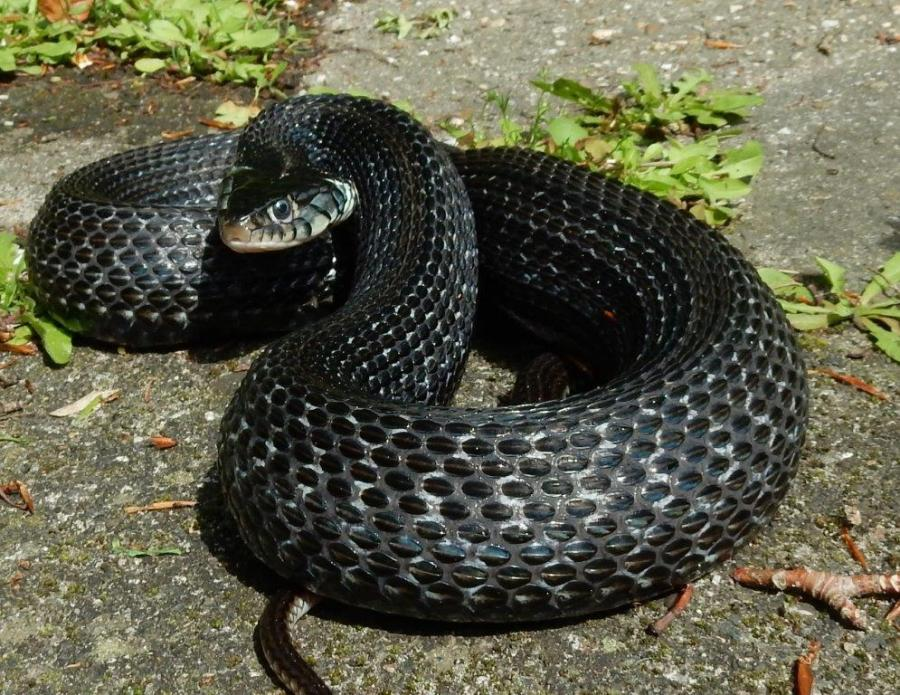 Large 4 year old female of Thamnophis eques cuitzeoensis clearly pregnant.