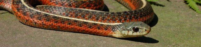 Thamnophis elegans terrestris (red morph)