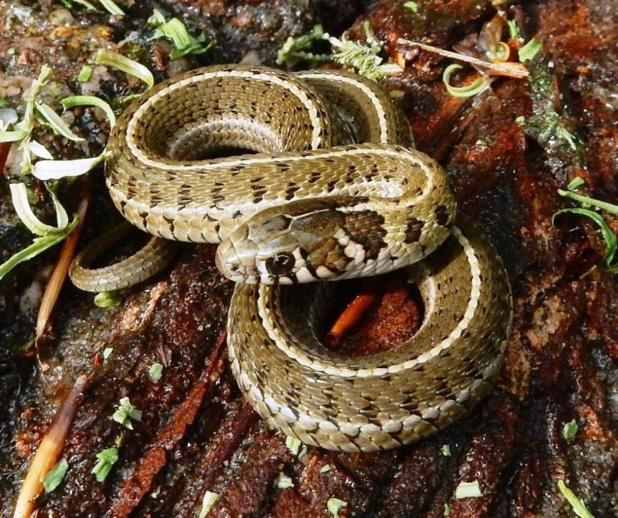 Thamnophis scaliger april 2020
