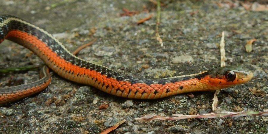 Thamnophis sirtalis sirtalis (flame) Eastern Garter Snake (flame) 2020