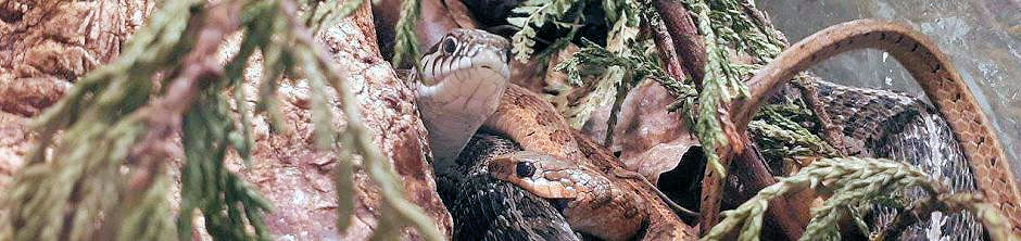 Male biting the female during courtship.