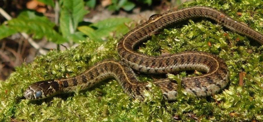 Thamnophis scaliger from the state Mexico