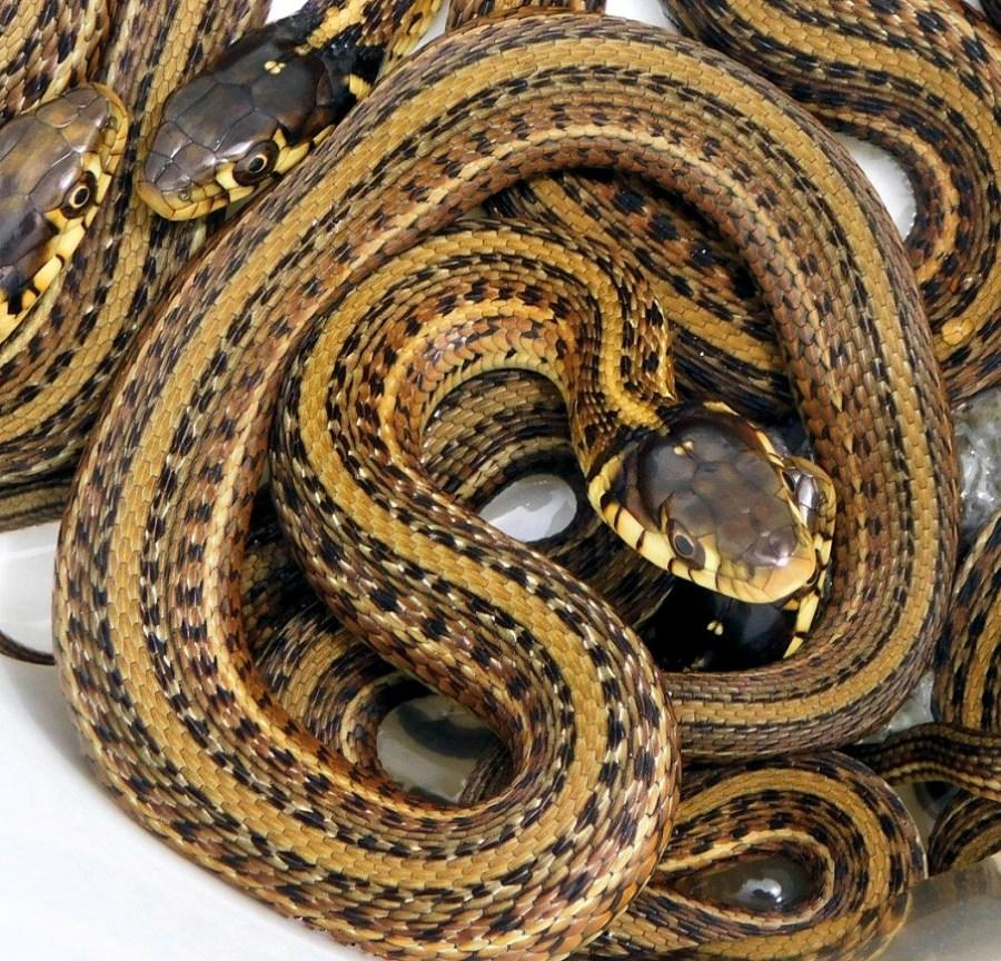 Thamnophis eques patzcuaroensis, the Lake Pátzcuaro Garter Snake