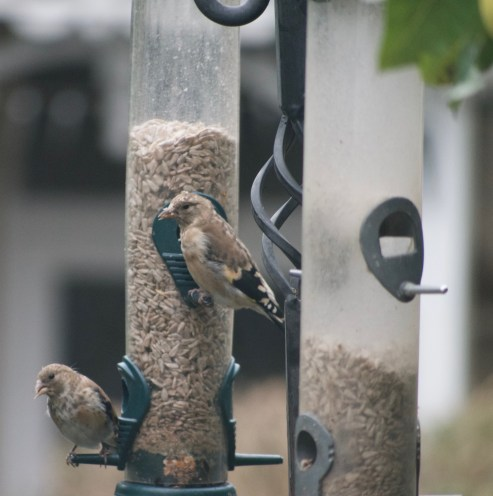 Two young goldfinch feeding today