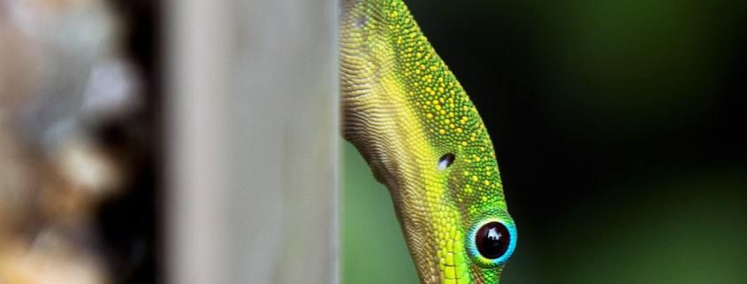 Hawaiian gold dust day gecko