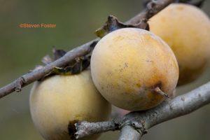 Diospyros virginiana, persimmon