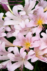 Naked Lady; Surprise Lily; Resurrection Lily; Magic Lily; Lu cong; Lycoris squamigera